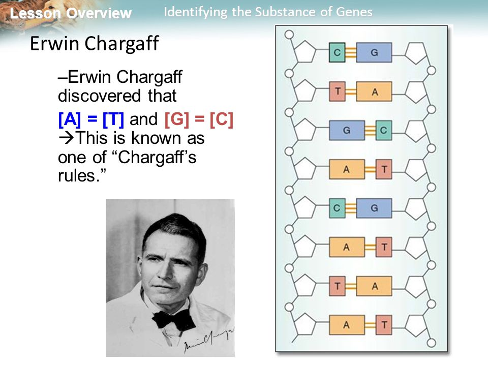 Erwin Chargaff Erwin Chargaff discovered that