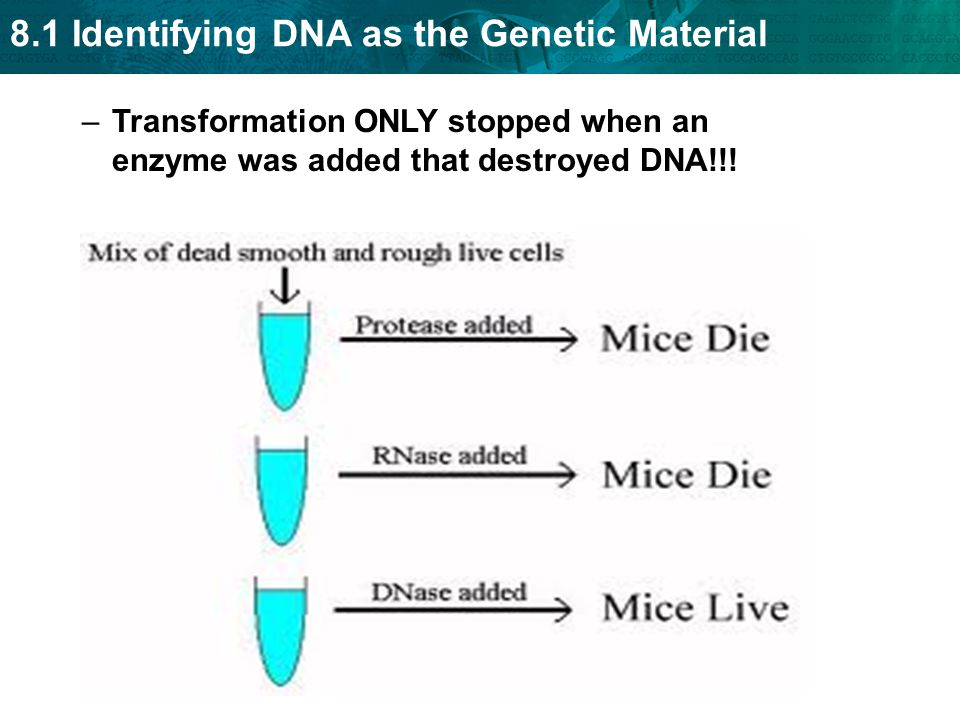 Transformation ONLY stopped when an enzyme was added that destroyed DNA!!!