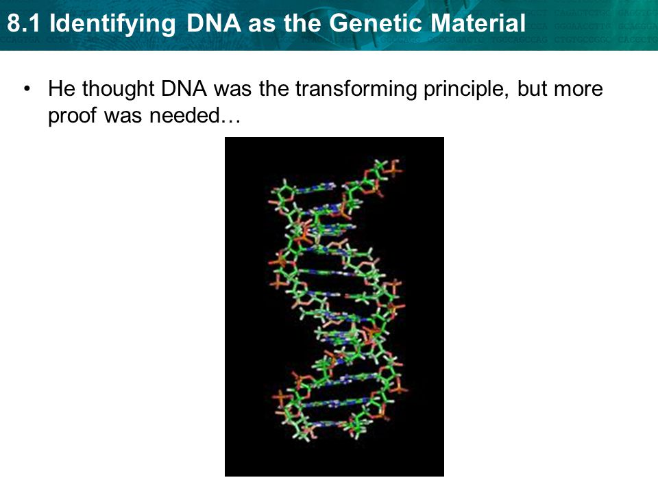 He thought DNA was the transforming principle, but more proof was needed…