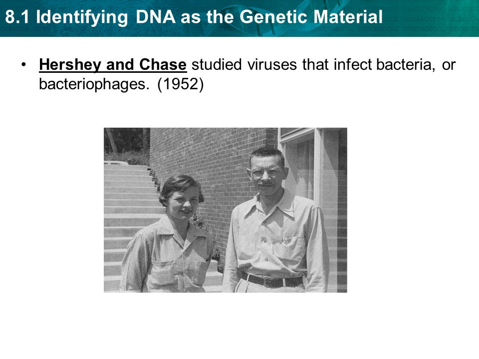 Hershey and Chase studied viruses that infect bacteria, or bacteriophages. (1952)
