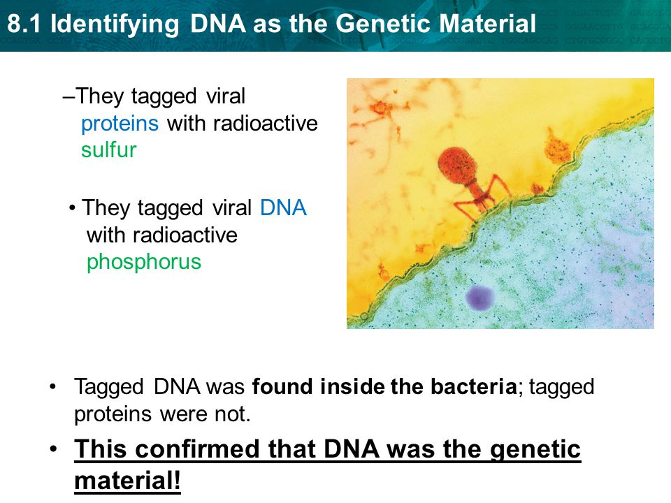 This confirmed that DNA was the genetic material!