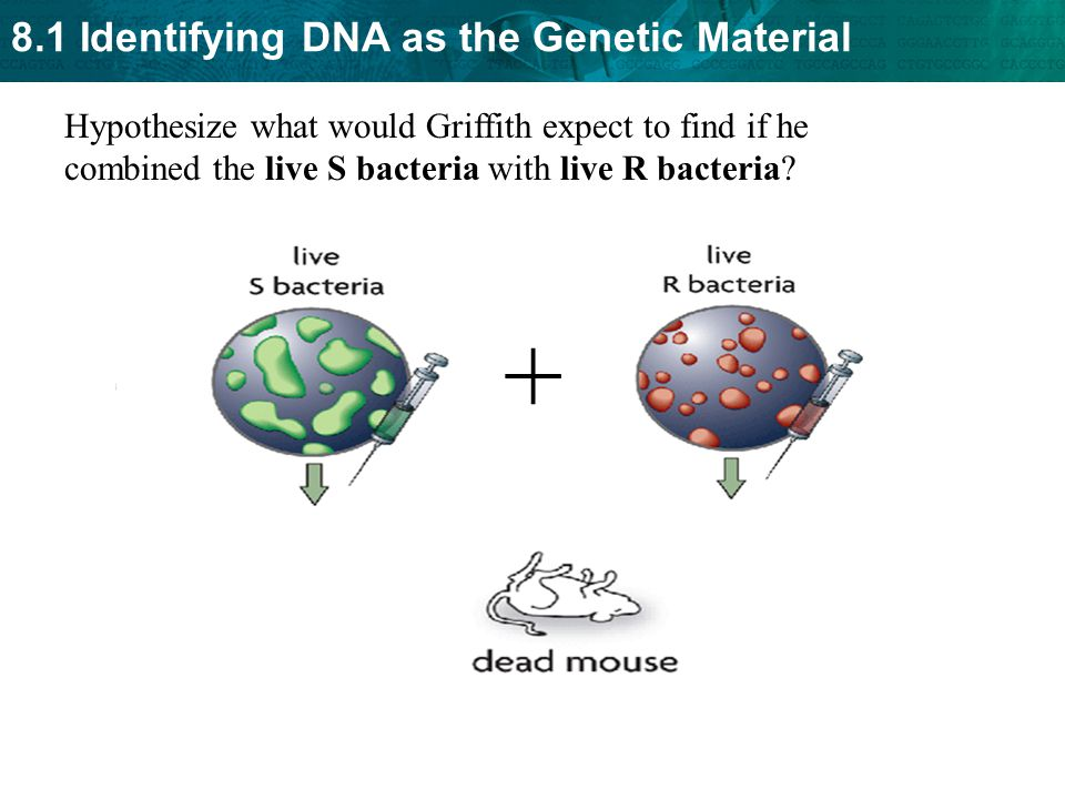 Hypothesize what would Griffith expect to find if he combined the live S bacteria with live R bacteria