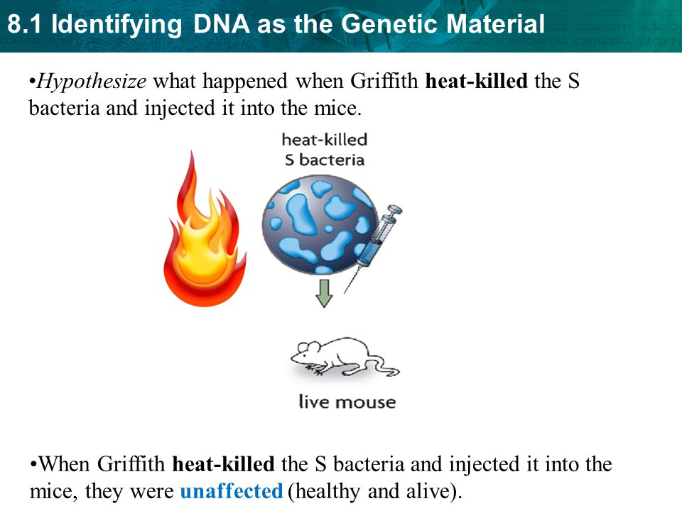 Hypothesize what happened when Griffith heat-killed the S bacteria and injected it into the mice.