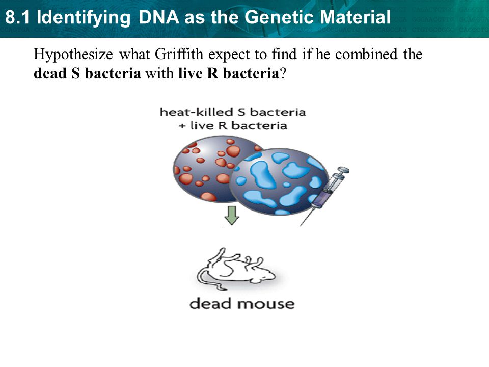 Hypothesize what Griffith expect to find if he combined the dead S bacteria with live R bacteria