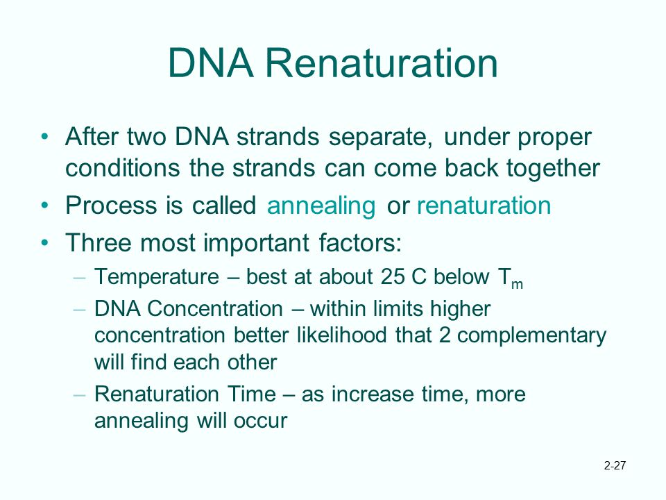 DNA Renaturation After two DNA strands separate, under proper conditions the strands can come back together.