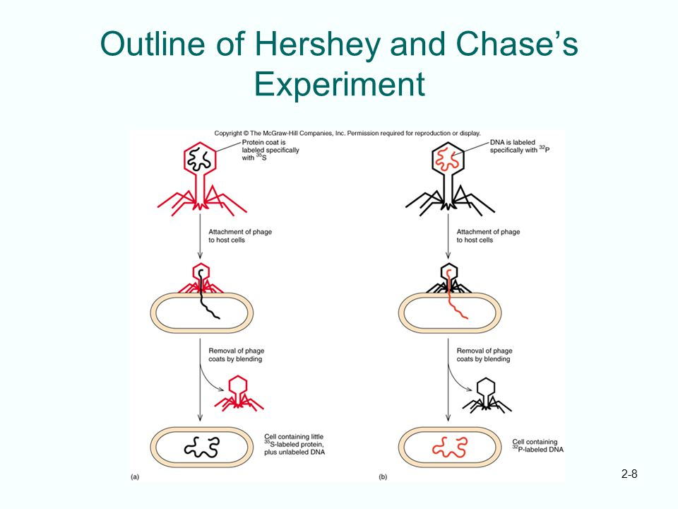 Outline of Hershey and Chase's Experiment