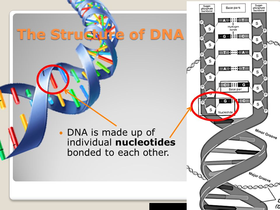 The Structure of DNA DNA is made up of individual nucleotides bonded to each other.