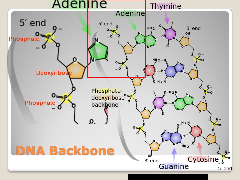 Phosphate Deoxyribose Phosphate DNA Backbone