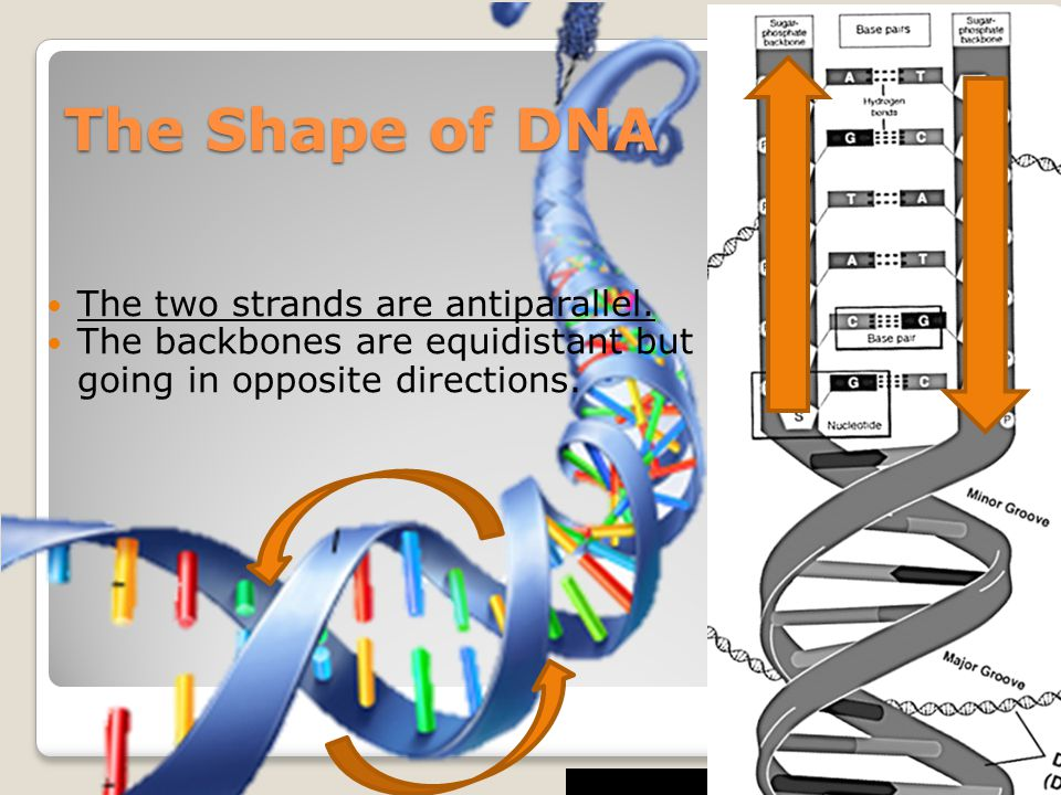 The Shape of DNA The two strands are antiparallel.