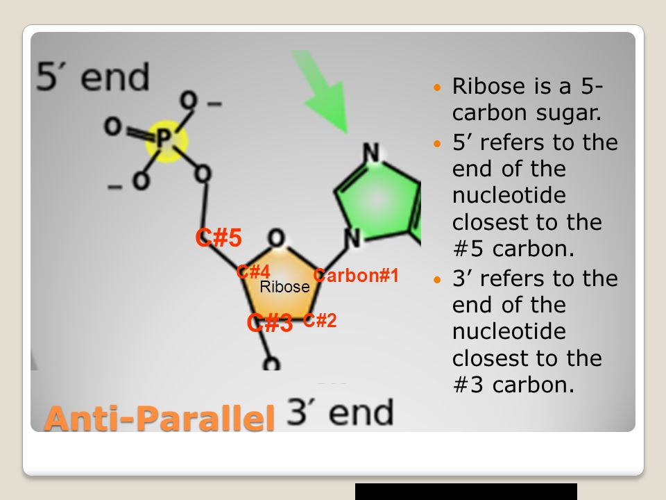 Anti-Parallel C#5 C#3 Ribose is a 5- carbon sugar.