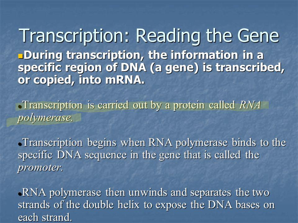 Transcription: Reading the Gene