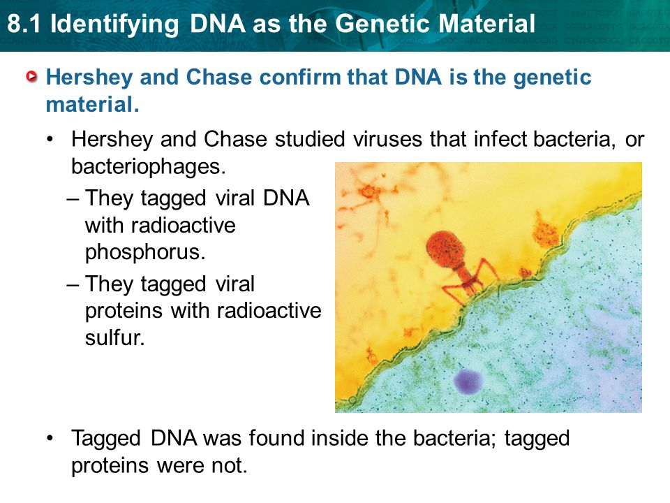 Hershey and Chase confirm that DNA is the genetic material.