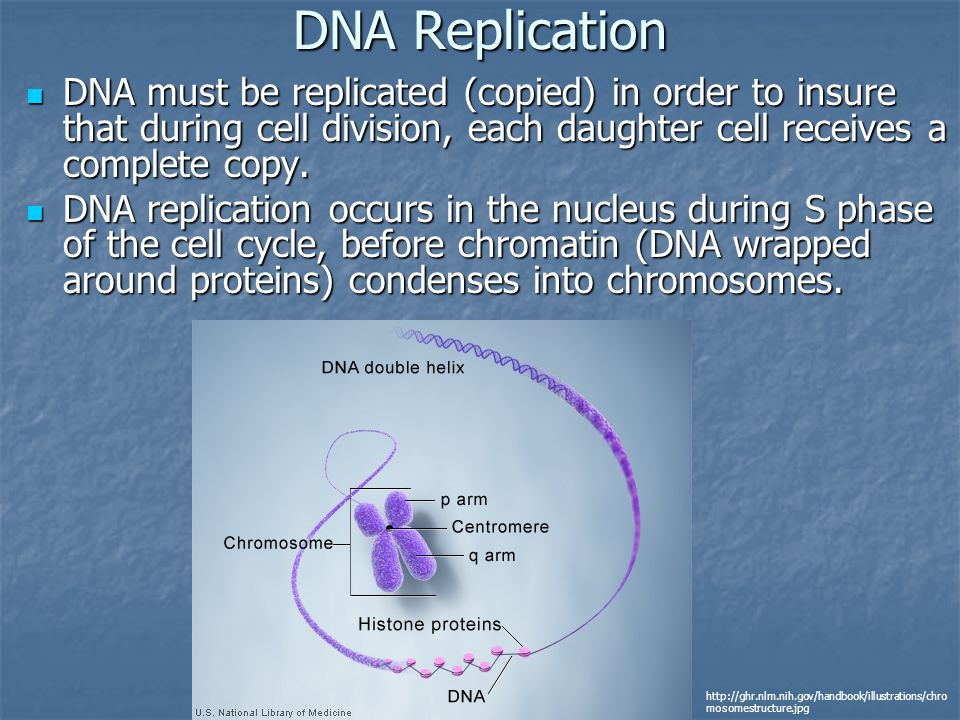 DNA Replication DNA must be replicated (copied) in order to insure that during cell division, each daughter cell receives a complete copy.