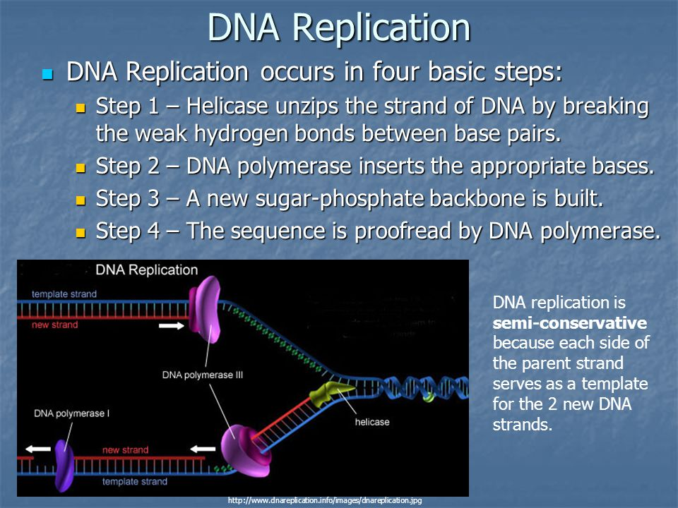 DNA Replication DNA Replication occurs in four basic steps:
