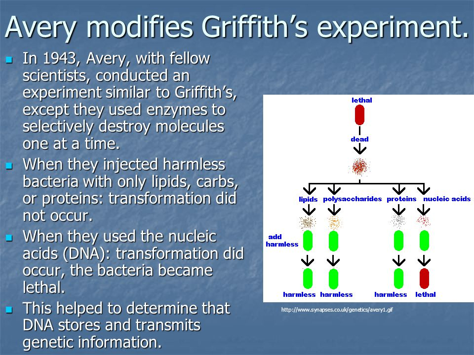 Avery modifies Griffith's experiment.