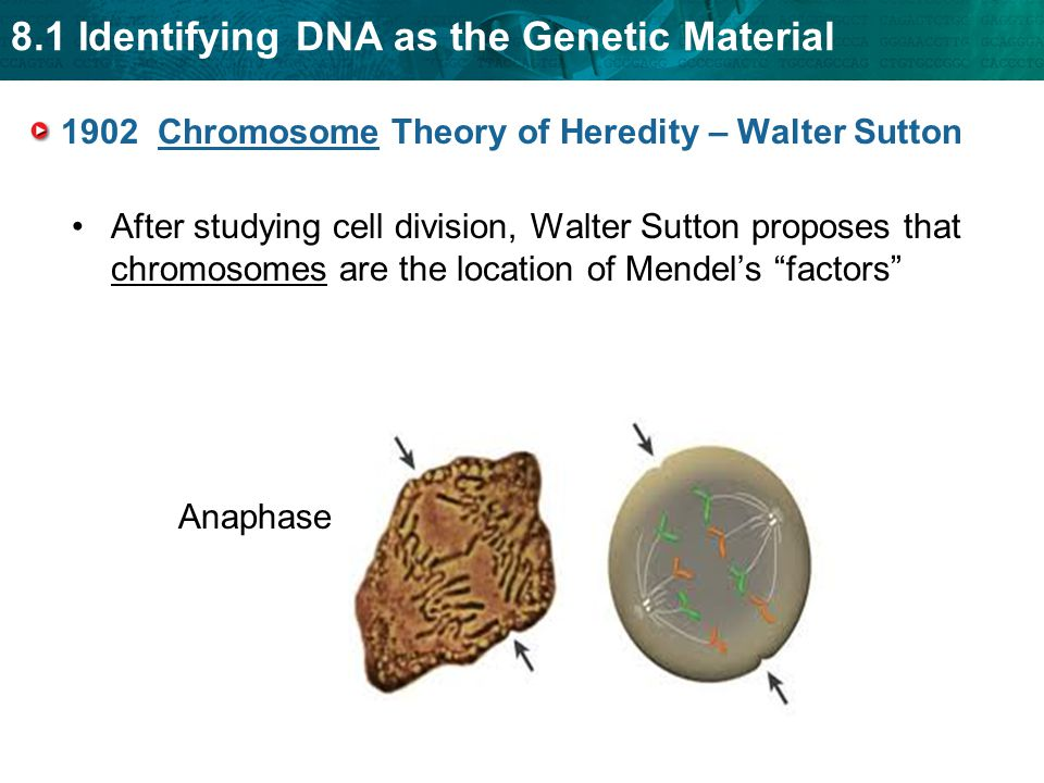 1902 Chromosome Theory of Heredity – Walter Sutton