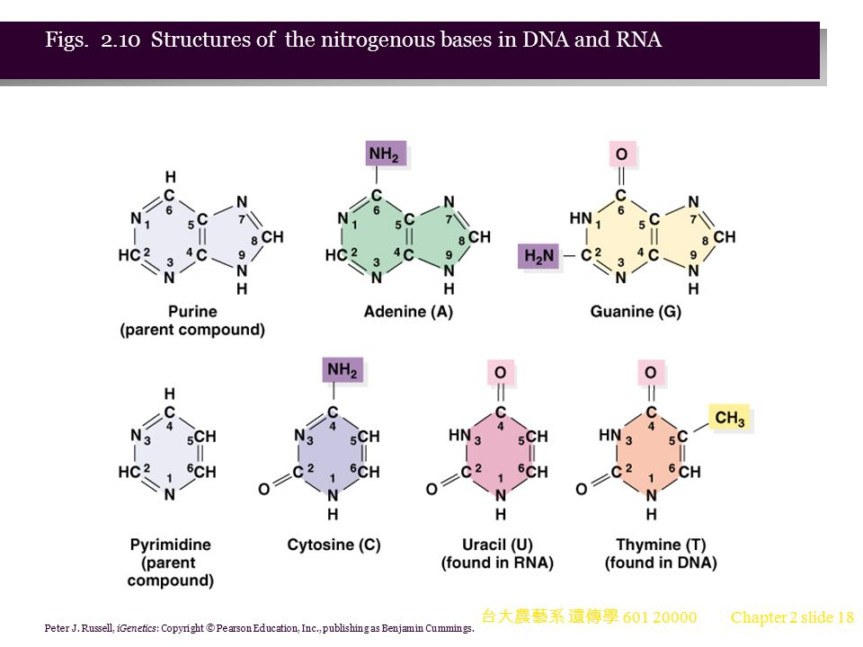 Figs. 2.10 Structures of the nitrogenous bases in DNA and RNA