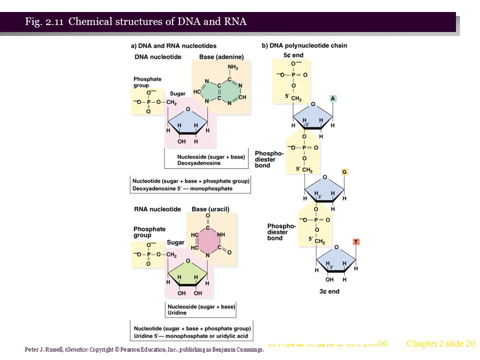 Fig. 2.11 Chemical structures of DNA and RNA