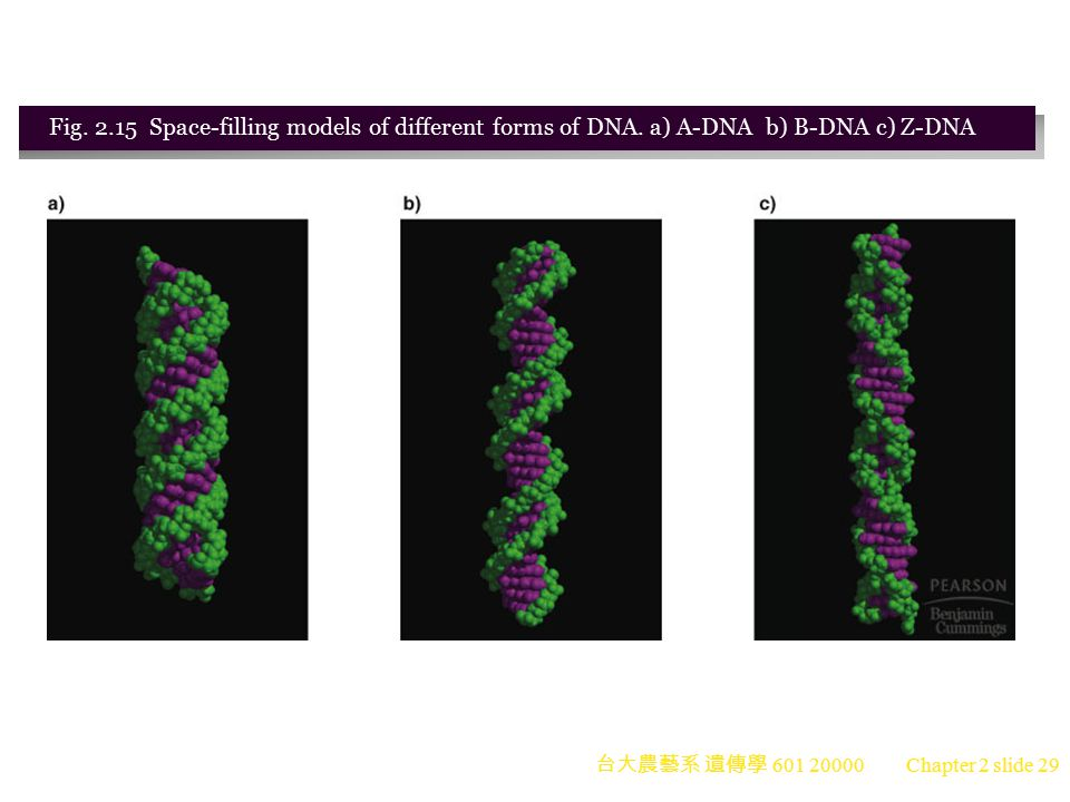 Fig. 2. 15 Space-filling models of different forms of DNA