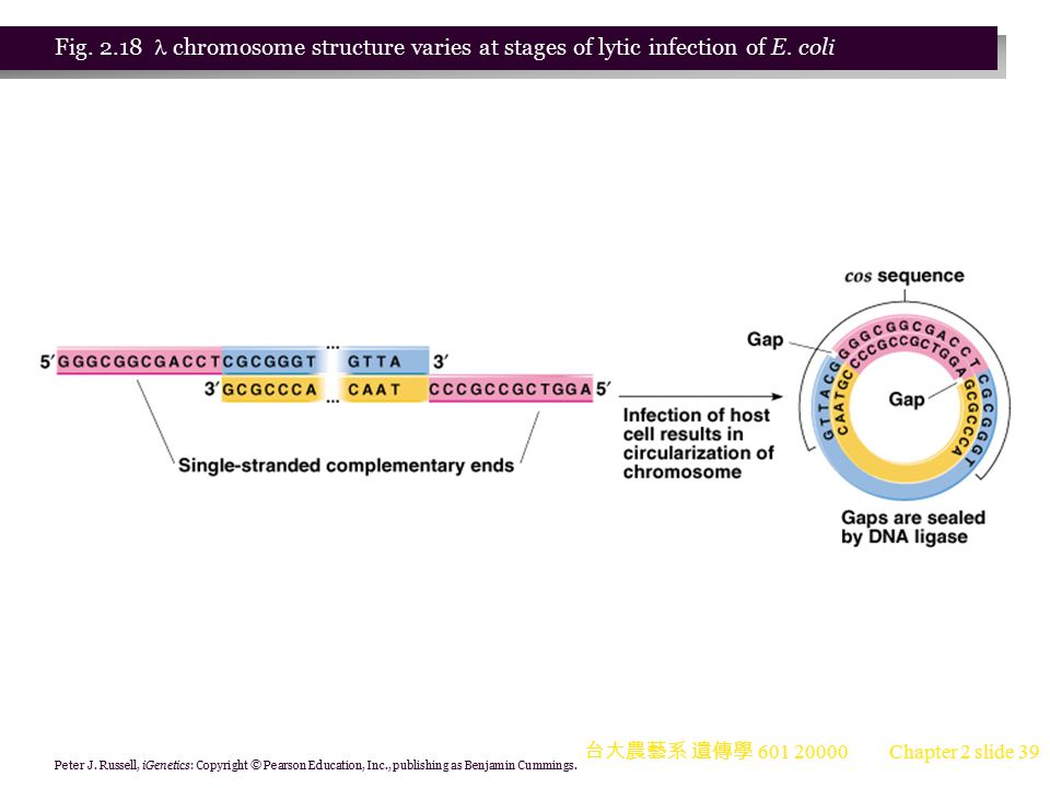 Fig. 2.18  chromosome structure varies at stages of lytic infection of E. coli