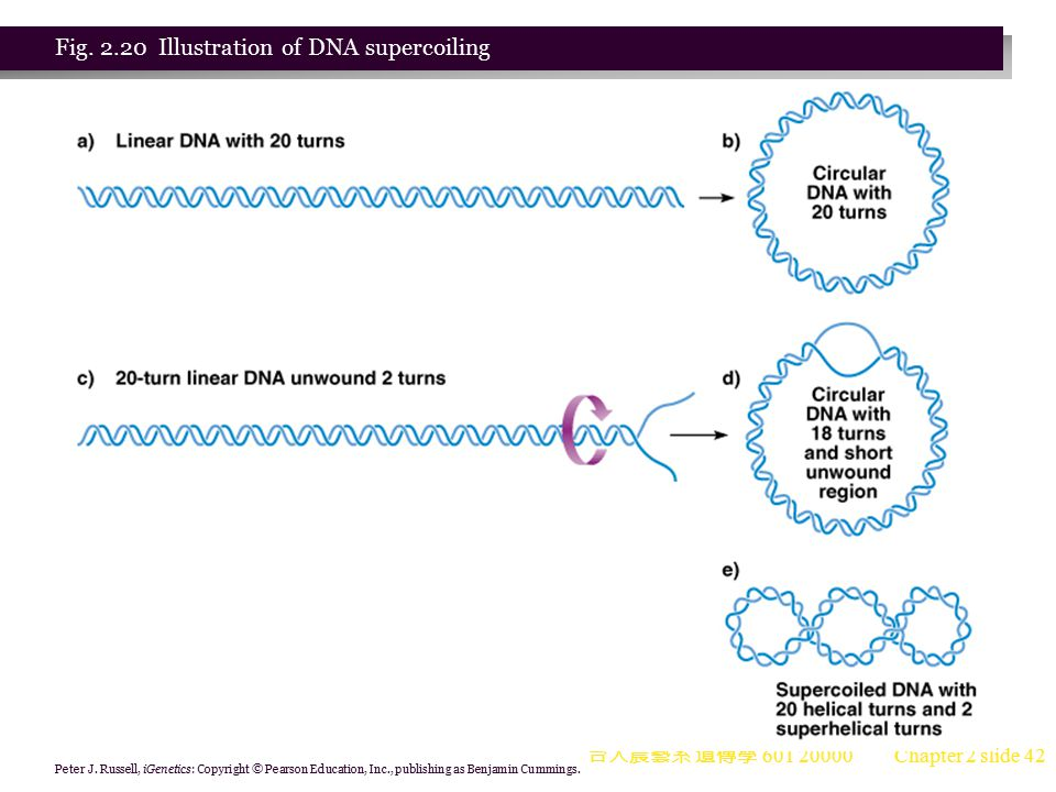 Fig. 2.20 Illustration of DNA supercoiling