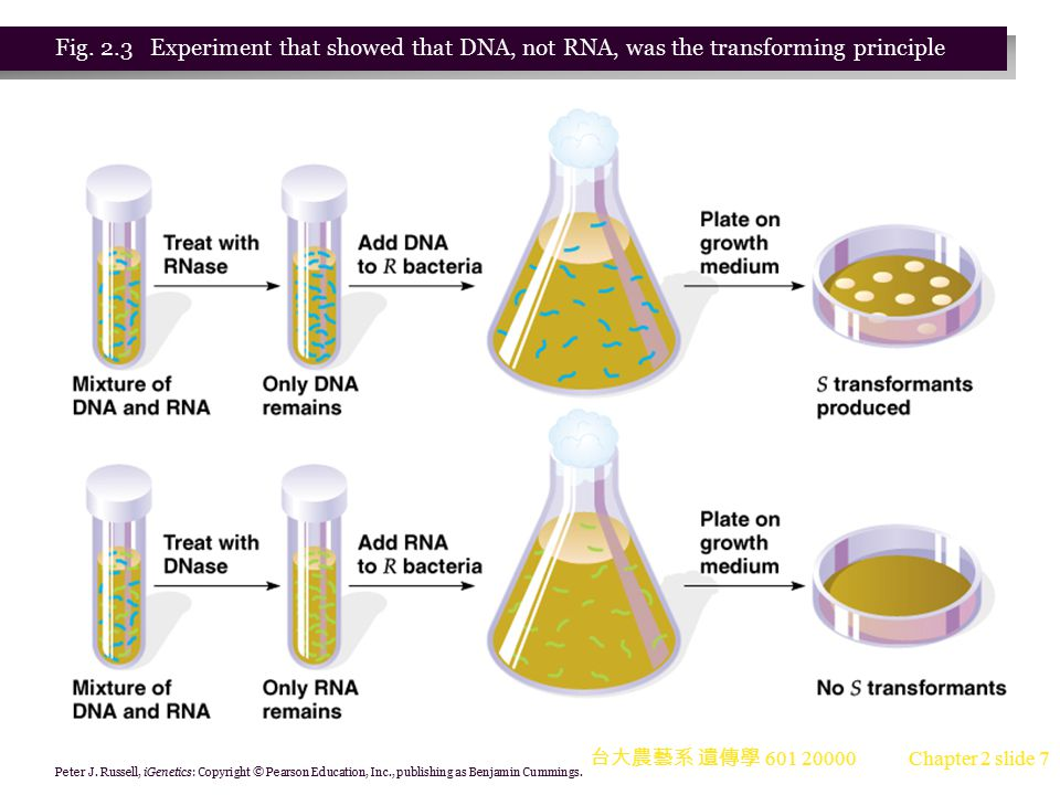 Fig. 2.3 Experiment that showed that DNA, not RNA, was the transforming principle