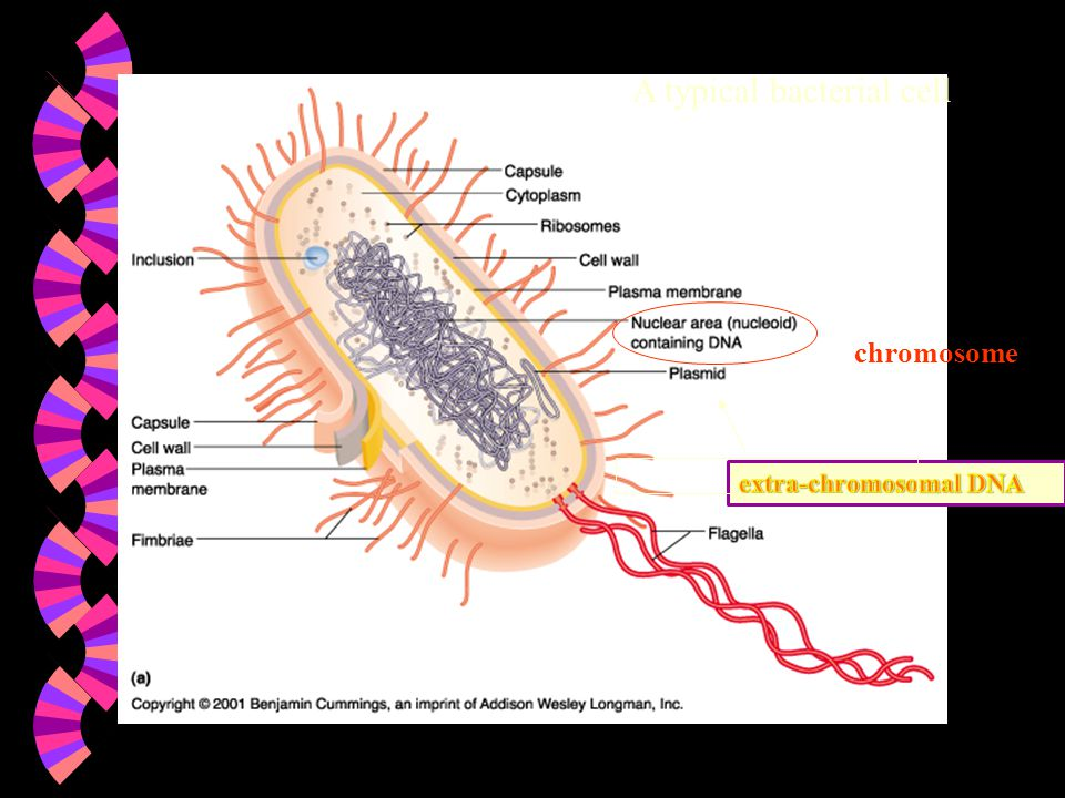 A typical bacterial cell