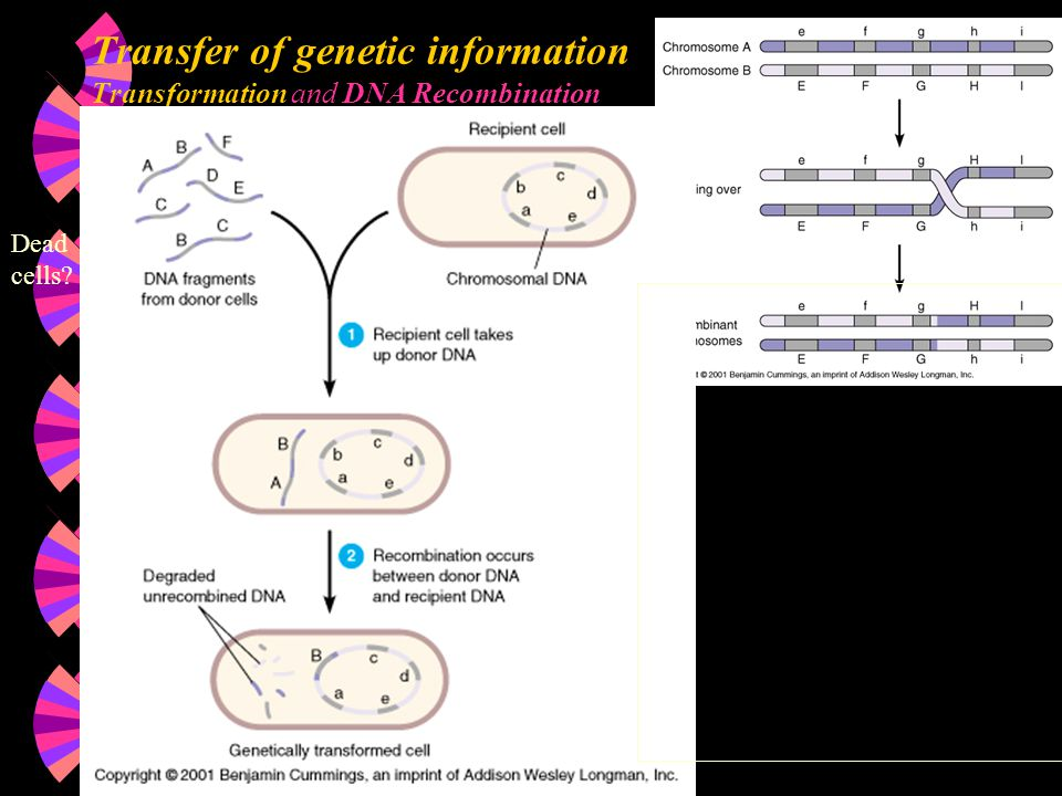 Transfer of genetic information Transformation and DNA Recombination