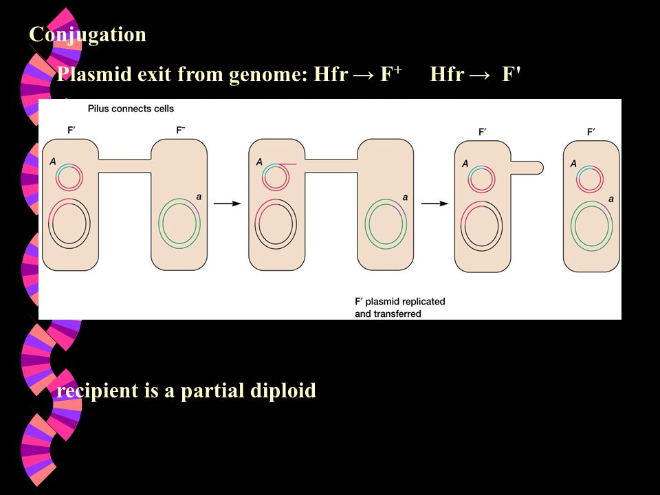 Conjugation Plasmid exit from genome: Hfr → F+ Hfr → F recipient is a partial diploid