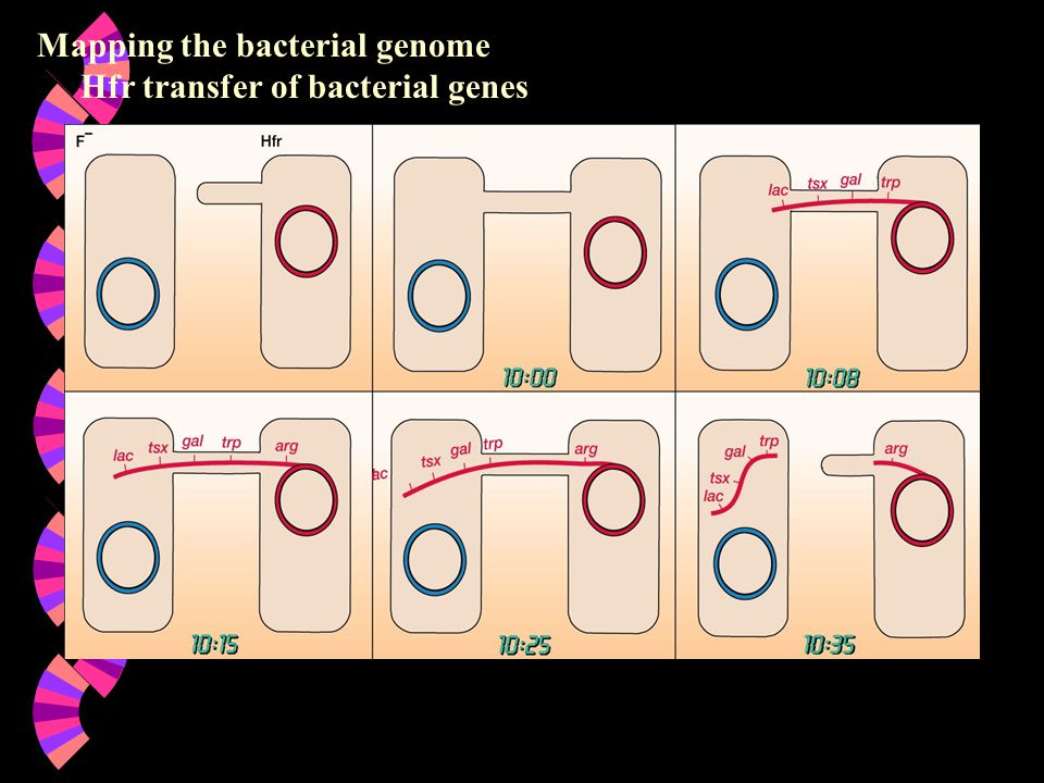 Mapping the bacterial genome Hfr transfer of bacterial genes