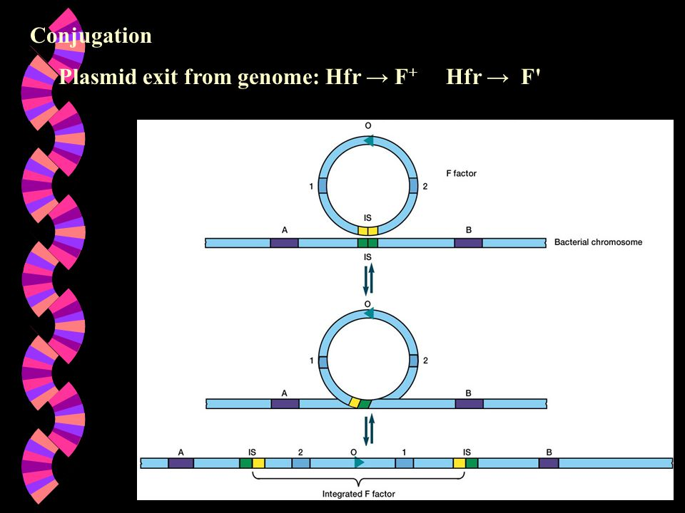Conjugation Plasmid exit from genome: Hfr → F+ Hfr → F