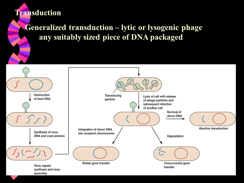 Transduction Generalized transduction – lytic or lysogenic phage any suitably sized piece of DNA packaged.
