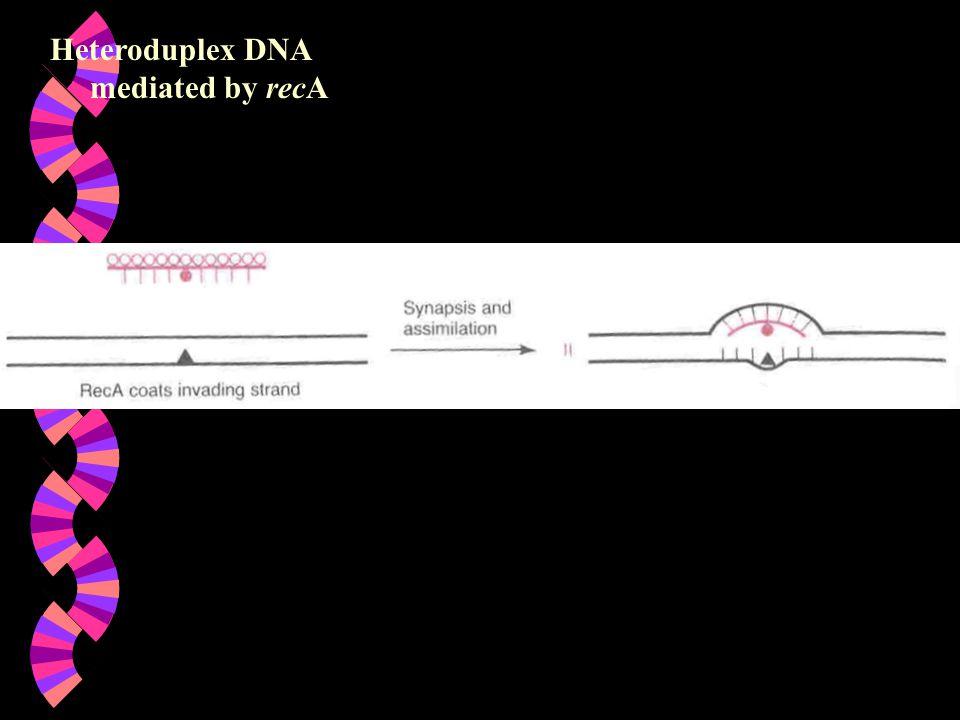 Heteroduplex DNA mediated by recA