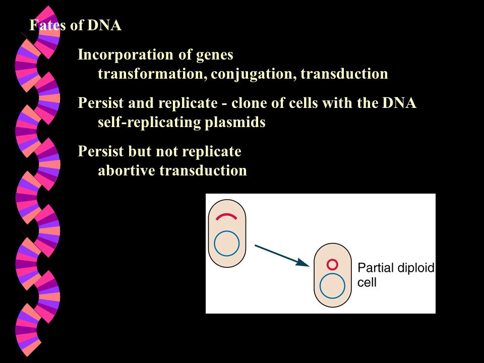 Fates of DNA Incorporation of genes transformation, conjugation, transduction.