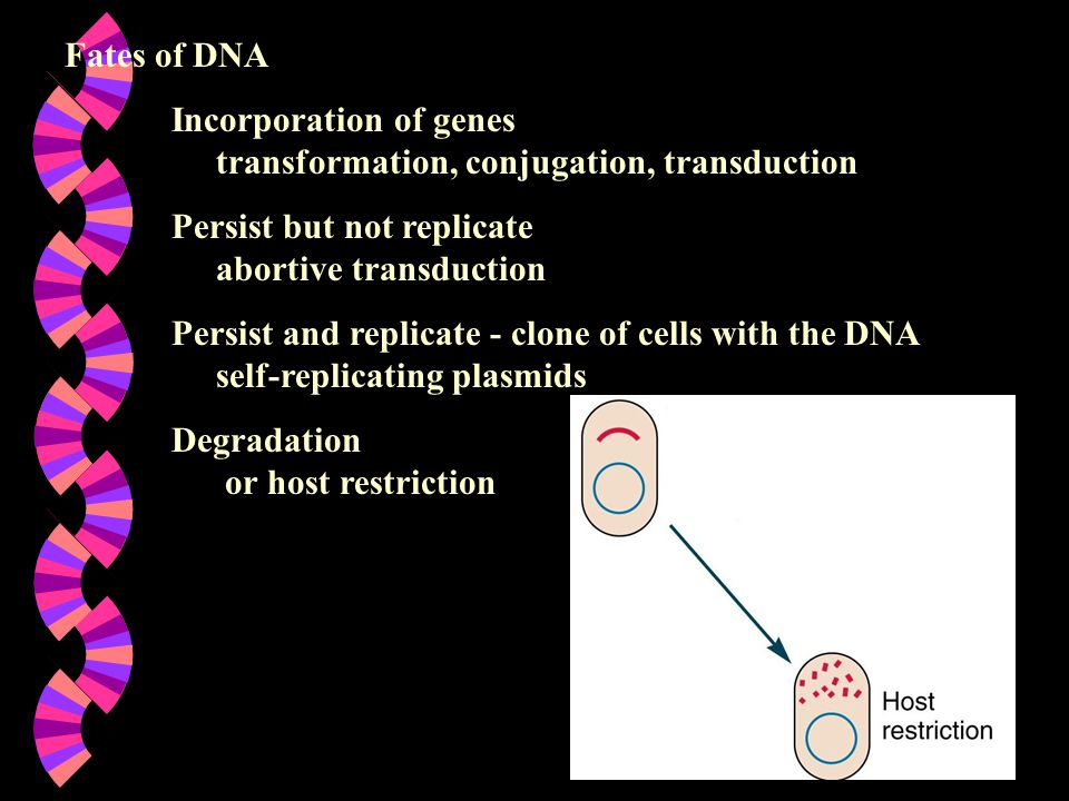 Fates of DNA Incorporation of genes transformation, conjugation, transduction. Persist but not replicate abortive transduction.