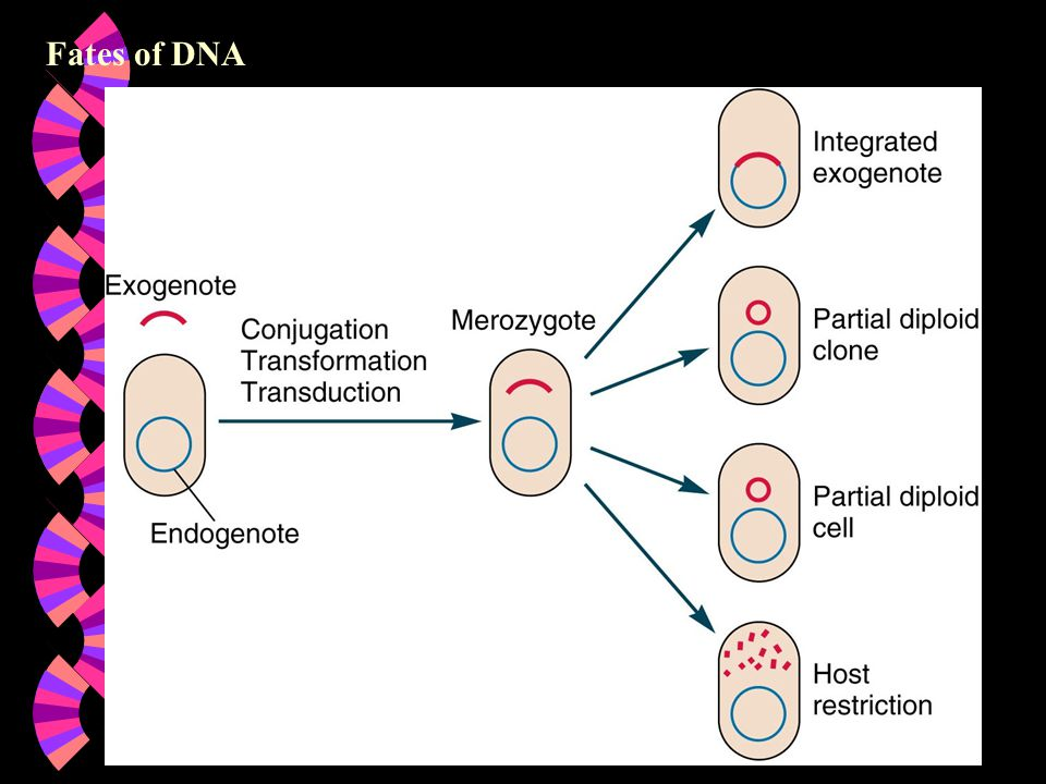 Fates of DNA