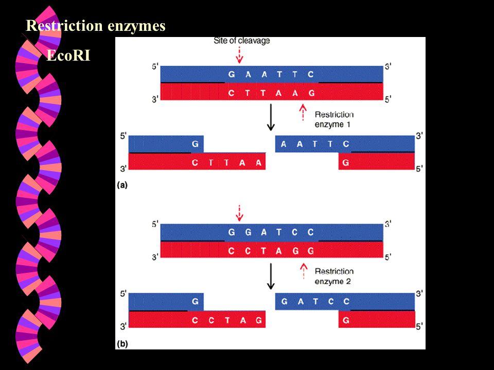 Restriction enzymes EcoRI