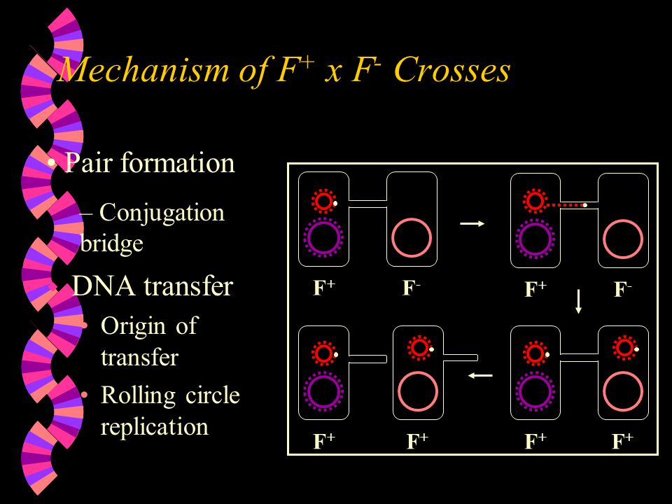 Mechanism of F+ x F- Crosses