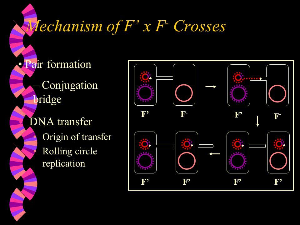 Mechanism of F' x F- Crosses