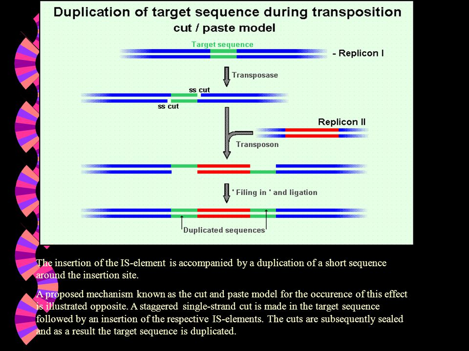 The insertion of the IS-element is accompanied by a duplication of a short sequence around the insertion site.
