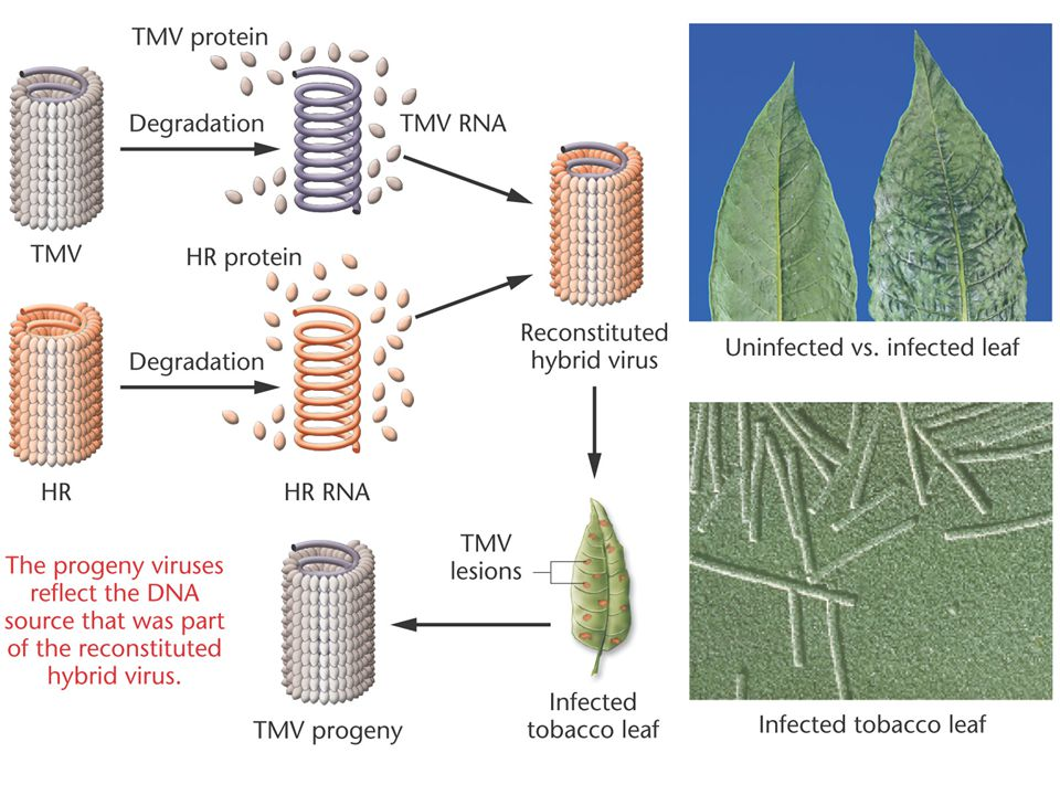Figure 10-8 Reconstitution of hybrid tobacco mosaic viruses