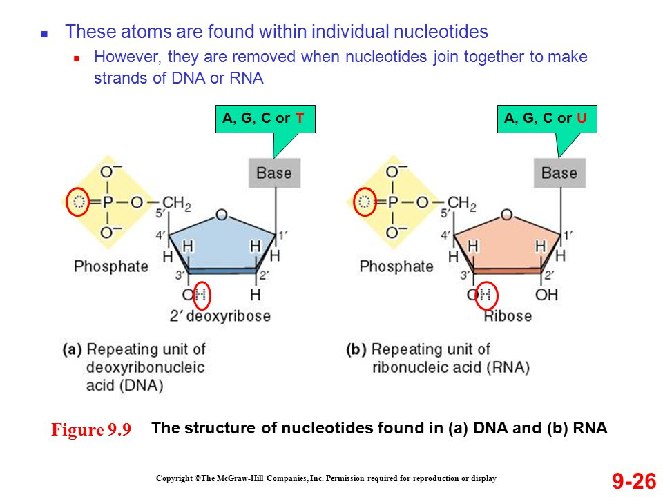 9-26 These atoms are found within individual nucleotides Figure 9.9