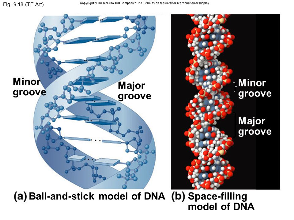 Ball-and-stick model of DNA Space-filling model of DNA