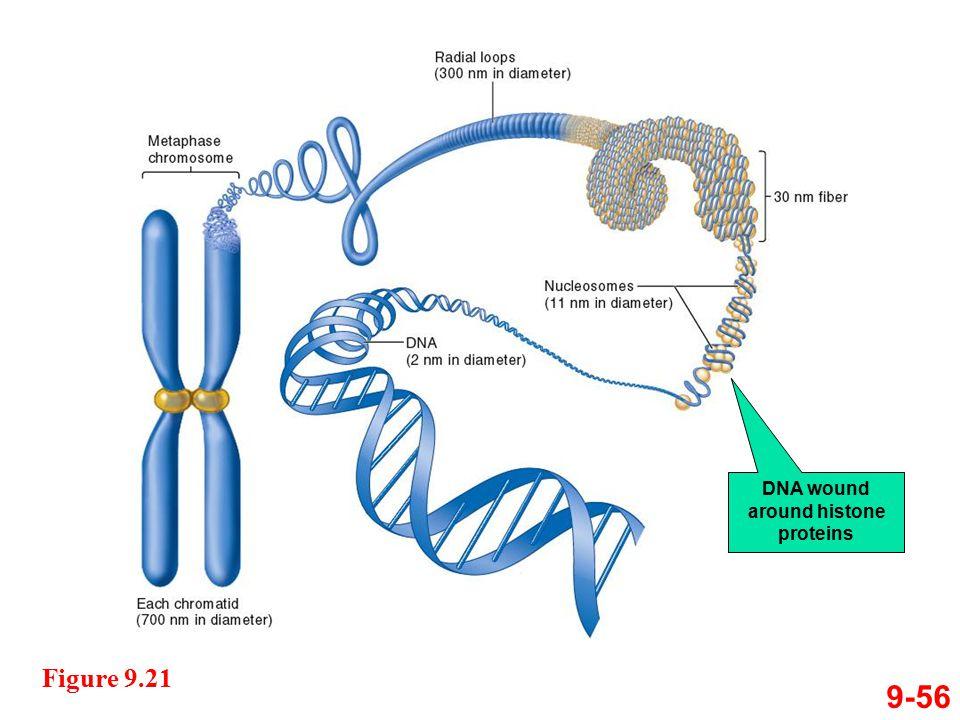 DNA wound around histone proteins