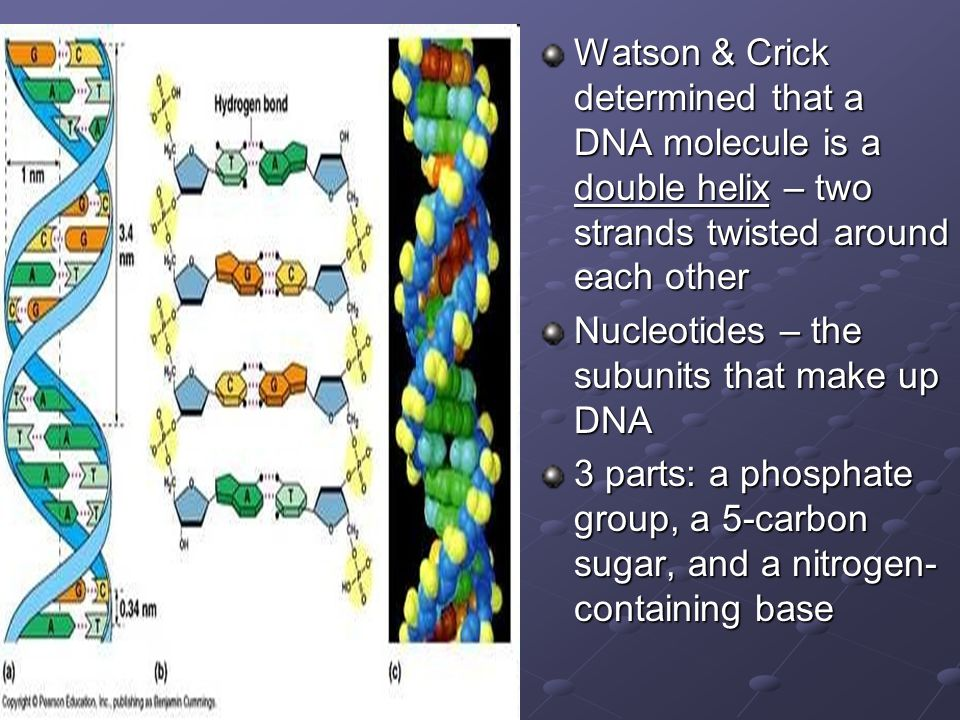 Watson & Crick determined that a DNA molecule is a double helix – two strands twisted around each other