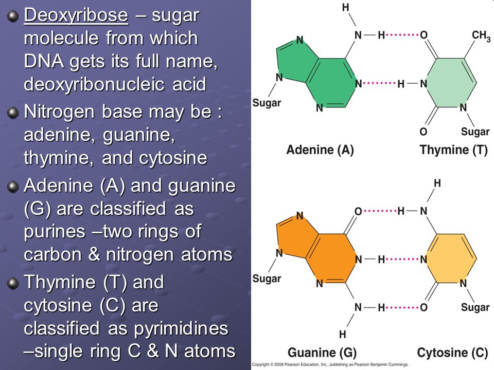 Deoxyribose – sugar molecule from which DNA gets its full name, deoxyribonucleic acid