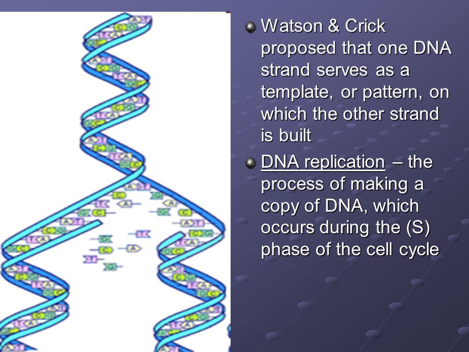 Watson & Crick proposed that one DNA strand serves as a template, or pattern, on which the other strand is built
