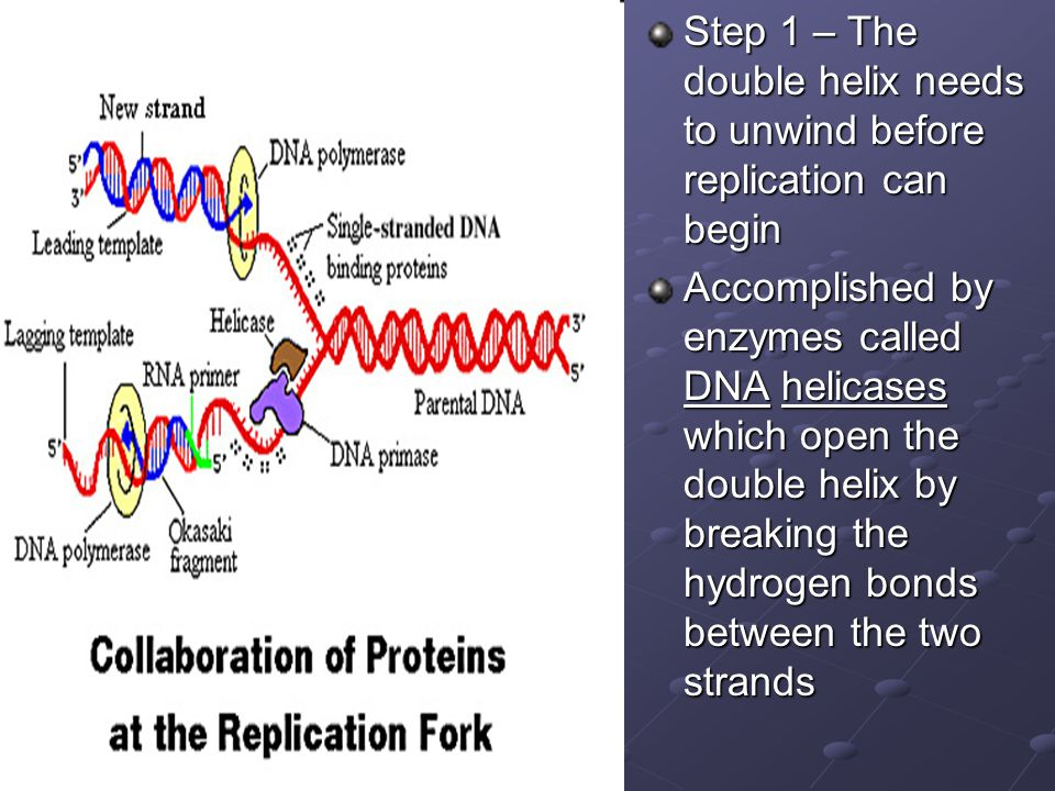 Step 1 – The double helix needs to unwind before replication can begin