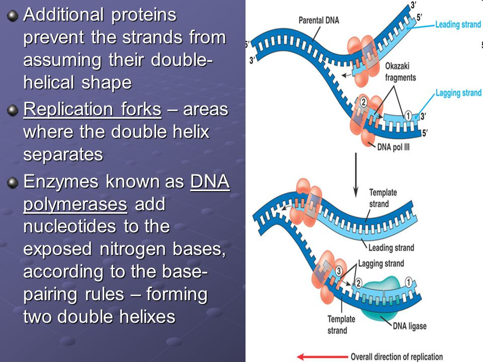 Additional proteins prevent the strands from assuming their double-helical shape