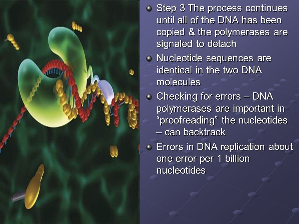 Step 3 The process continues until all of the DNA has been copied & the polymerases are signaled to detach